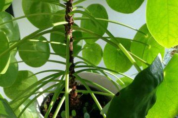 pannenkoekenplant licht