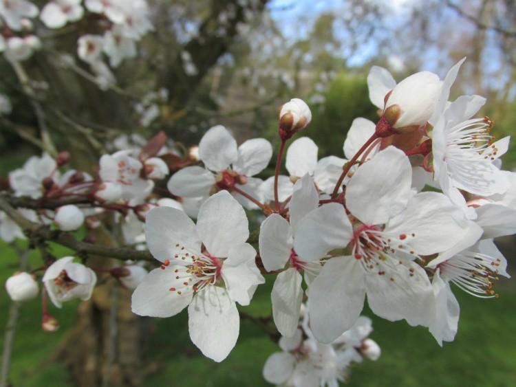 Prunus cerasifera Nigra kerspruim bloesem