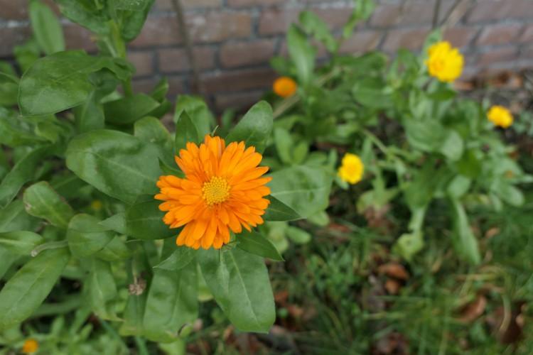 goudsbloem bloemen winter