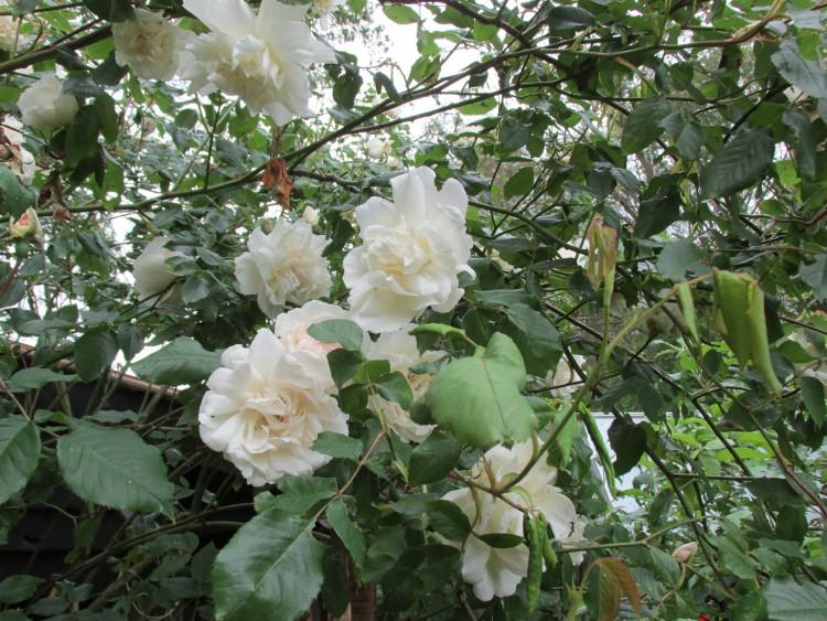 klimroos rozen bloemen