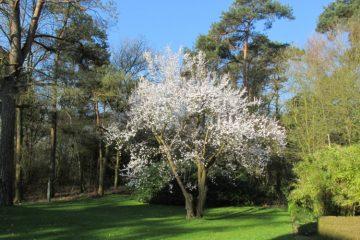 Prunus cerasifera Nigra kerspruim boom