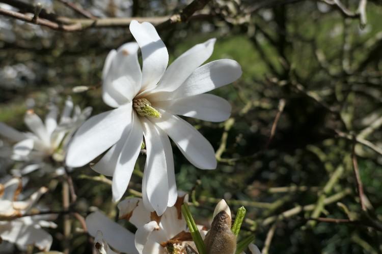 bloem magnolia stellata maartbloeier