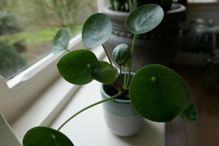 kamerplanten verhuizen pannenkoekenplant pilea