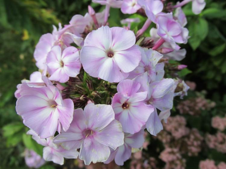 phlox bloem dichtbij