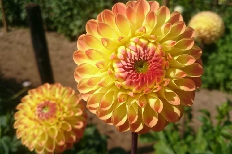 dahlia geel oranje
