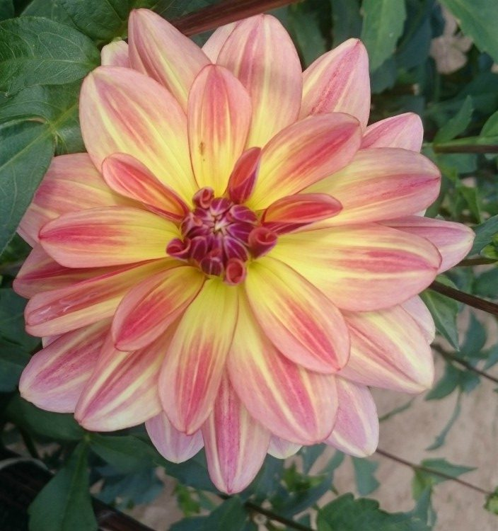 dahlia roze geel