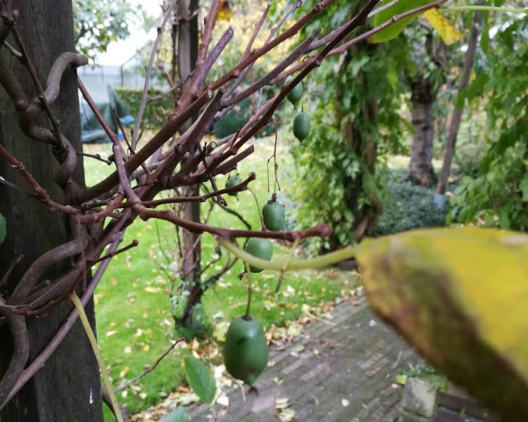 kiwibes plant herfst