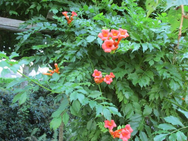 klimplanten campsis radicans trompetbloem