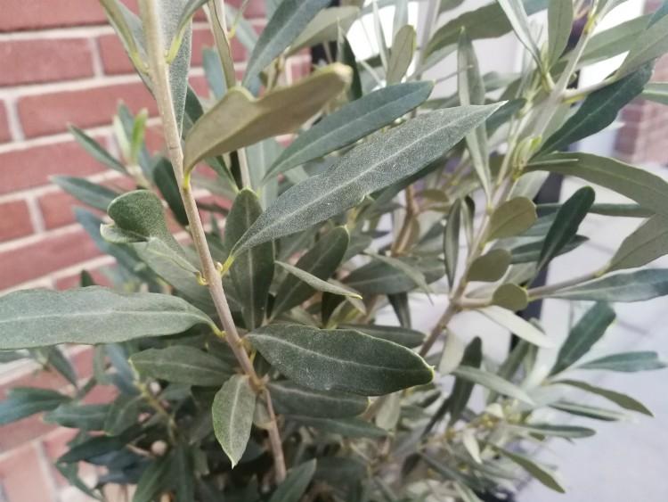 olijfboompje blad
