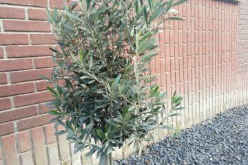 olijfboompjes snoeien