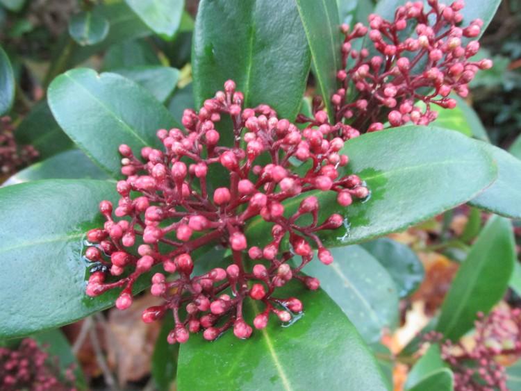 skimmia blad rode bloemknoppen