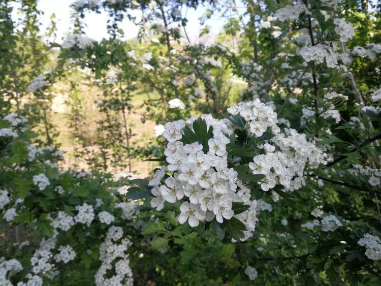 bloemen meidoorn