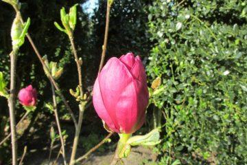 magnolia genie knop