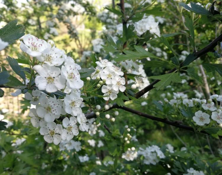 meidoorn witte bloemen
