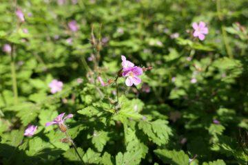 robertskruid geranium robertianum