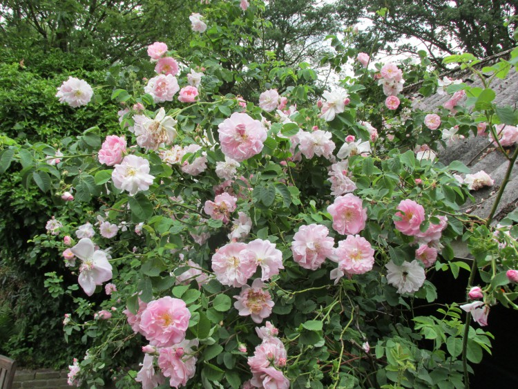 botanische roos uitbundige bloei