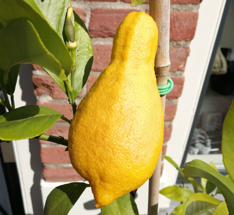citroen citrus