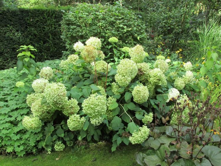 hydrangea annabelle bloemen