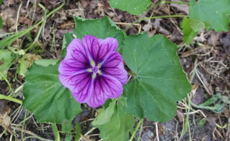 kaasjeskruid bloem