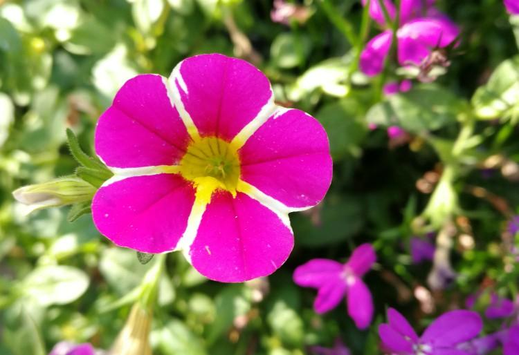 roze petunia juni