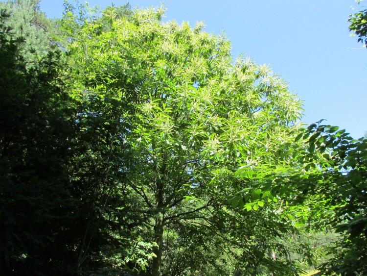 tamme kastanje in bloei juni