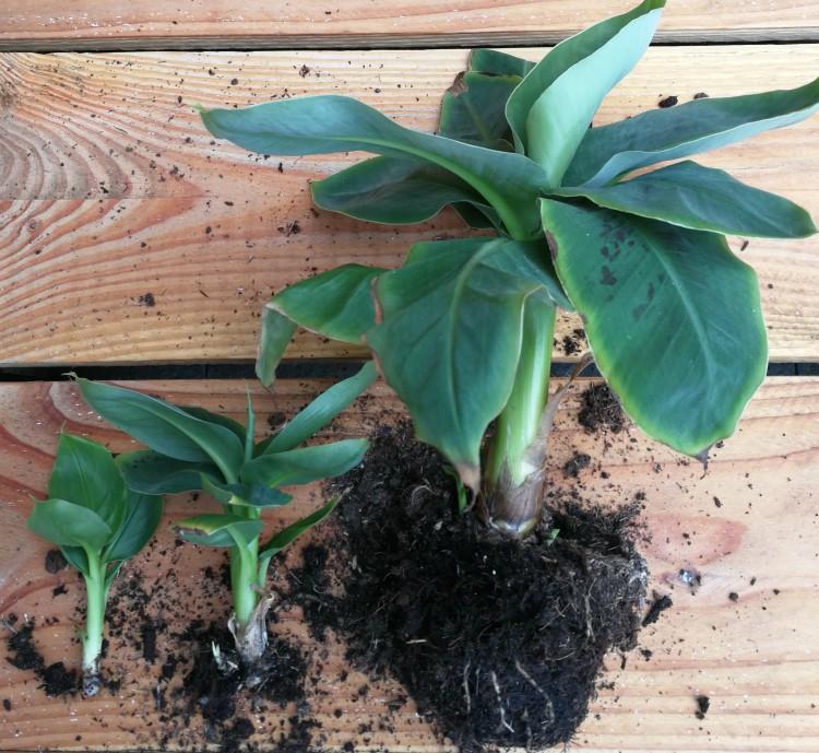 bananenplant stekjes op een rij