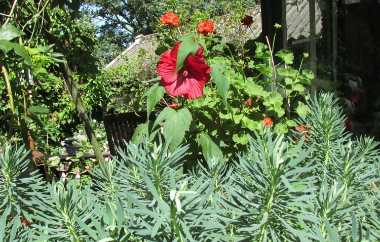 hibiscus wolfsmelk juli