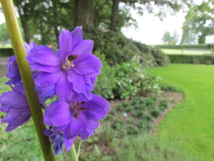 ridderspoor bloem