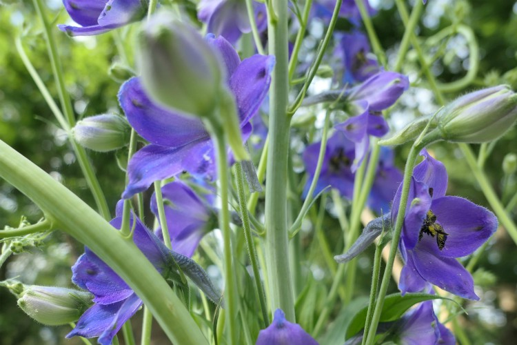 ridderspoor bloemen blauwpaars