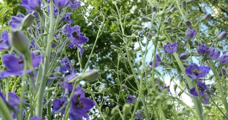 ridderspoor bloemen doorkijkje