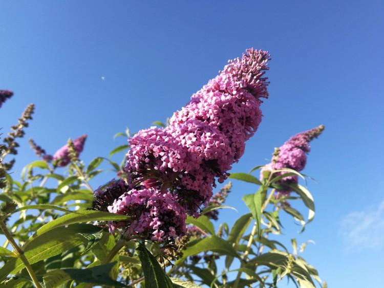 vlinderstruik bloem