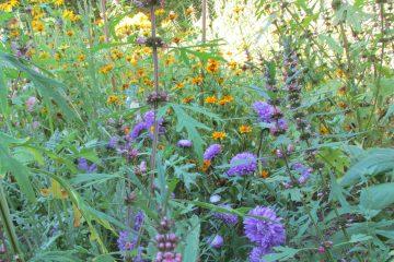herfstaster rudbeckia en leonorus augustus