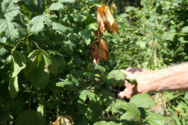 vaste planten snoeien zomer