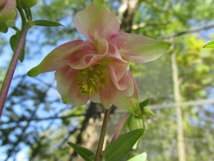 akelei roze