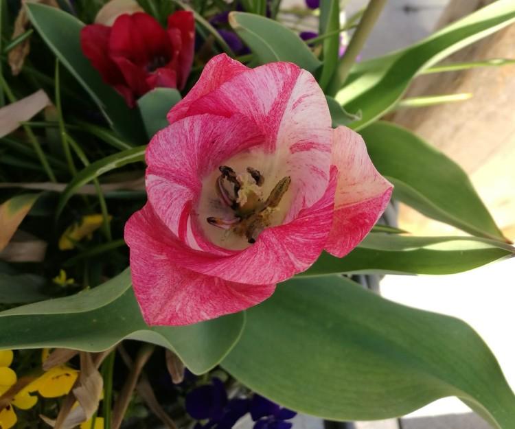 bollenmand tulp