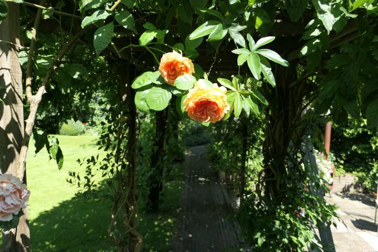 rozen aan de pergola