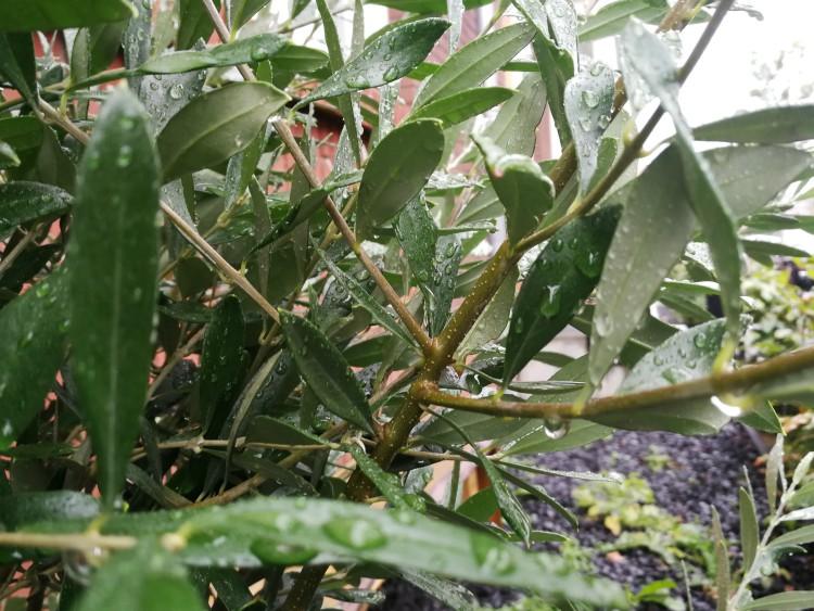 olijfboom scheuten snoeien