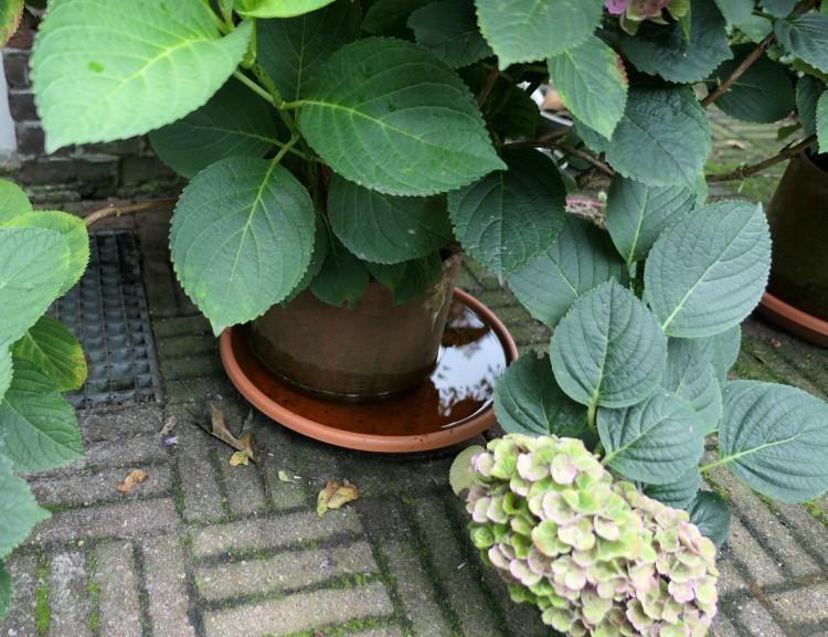 schotel onder pot hortensia