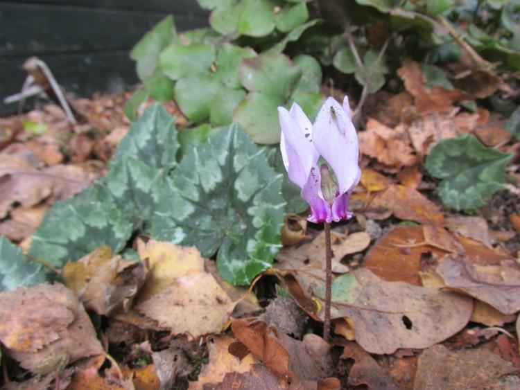 bloemetje tuincyclaam