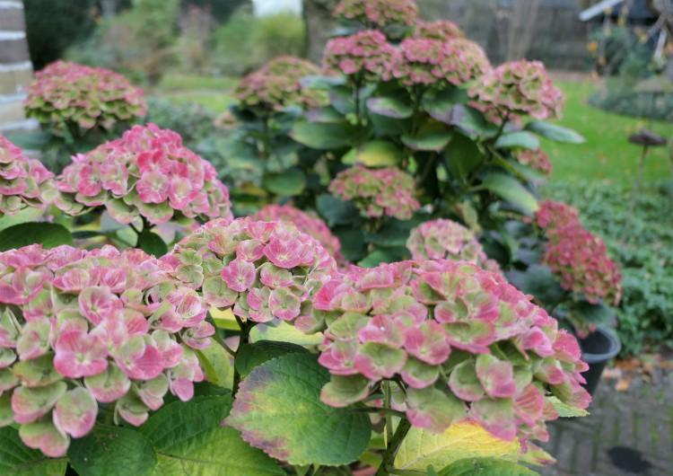 hortensia magical herfst kleur