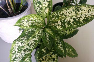 kamerplant dieffenbachia