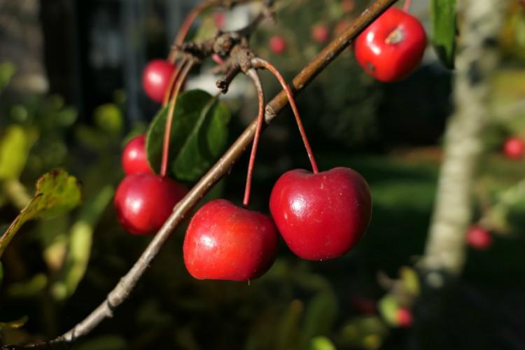 malus red sentinel kleur herfst winter