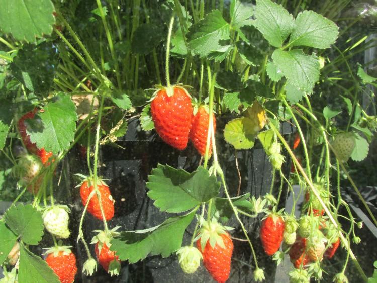 aardbeien hangpot
