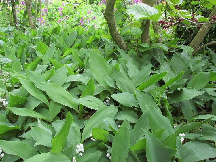 lelietjes-van-dalen in tuin