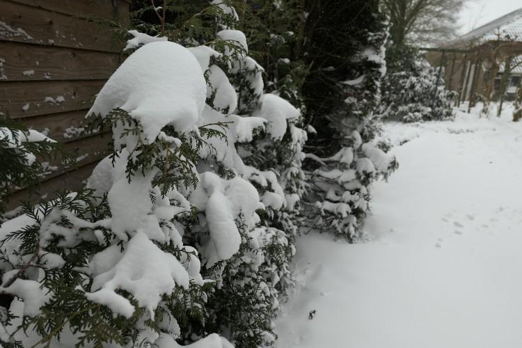 conifeer sneeuw winterweer.