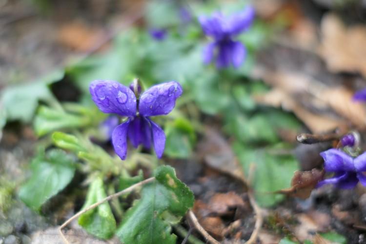 maarts viooltje nat