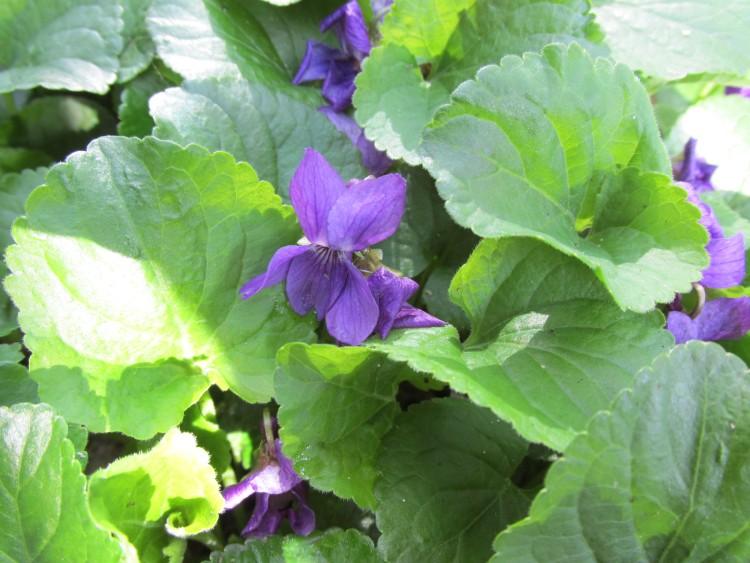 maarts viooltje zon