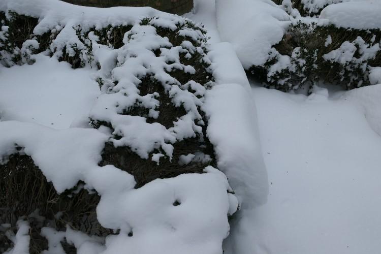 sneeuw uit elkaar gezakte buxus
