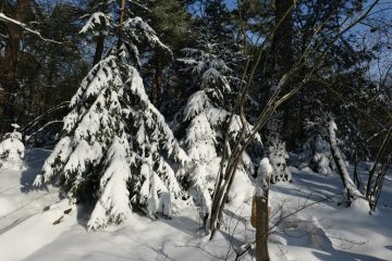 sneeuwschade doorgezakte fijnspar
