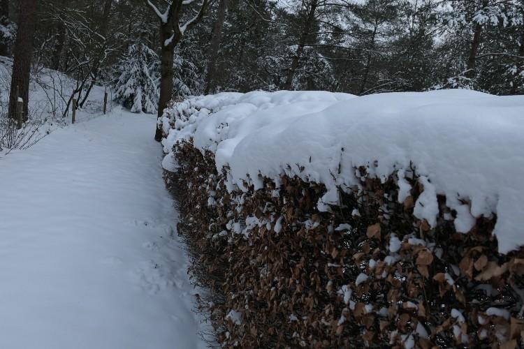 uitgezakte heg door sneeuw